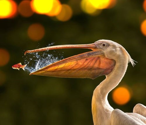 cute birds fish funny pelicans - 7965798144