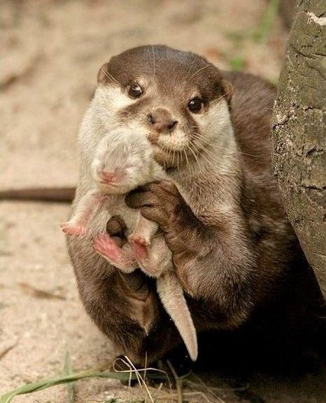 Babies,cute,otters,mama