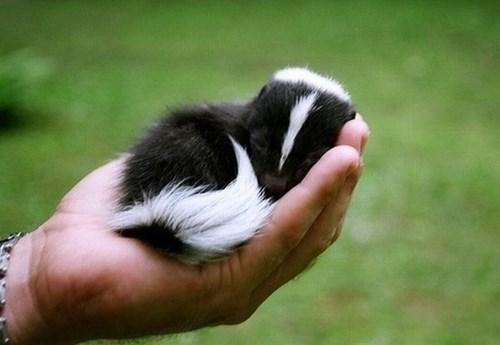 cute tiny skunks squee stinke - 7968598272