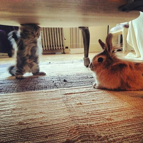 bunnies,Cats,cute,kitten
