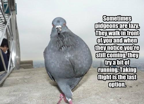 walking pigeons funny flying - 7968737792
