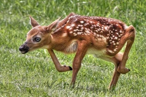 cute bambi deer fawns - 7968787456