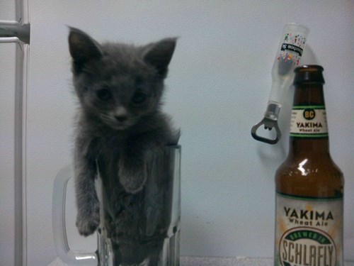 beer,cat,funny,pint