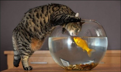 Cats fish funny KISS taste - 7970334208