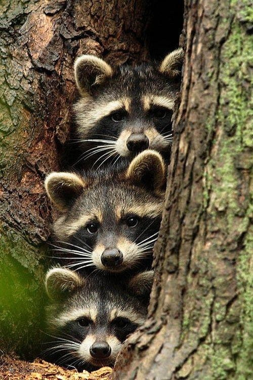 cute tree trouble raccoons three - 7970760448