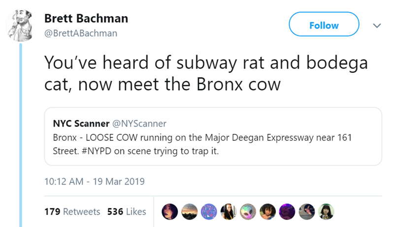 cow new york Video traffic - 7974405
