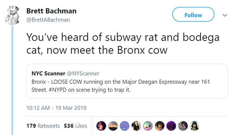 cow new york Video traffic - 7974405