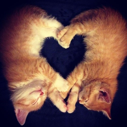 Cats cute heart kitten love - 7975475712