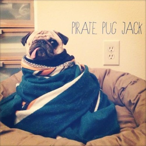 dogs,pirates,pugs,Pirate Pug Jack