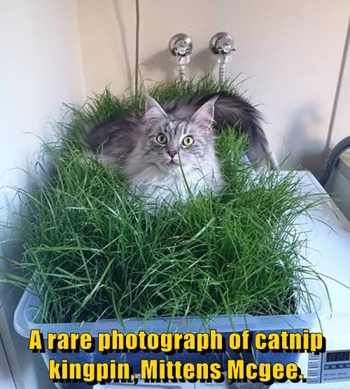 A rare photograph of catnip kingpin, Mittens Mcgee.