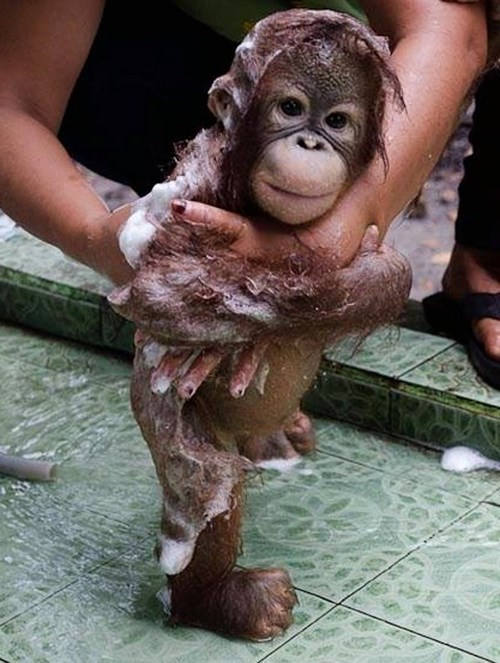 apes,cute,bubble baths