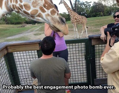 engagement,giraffes,photobomb