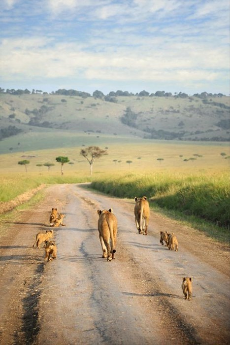 lions,africa,cute,family
