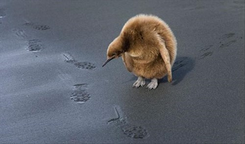 Babies penguins cute sand foot prints