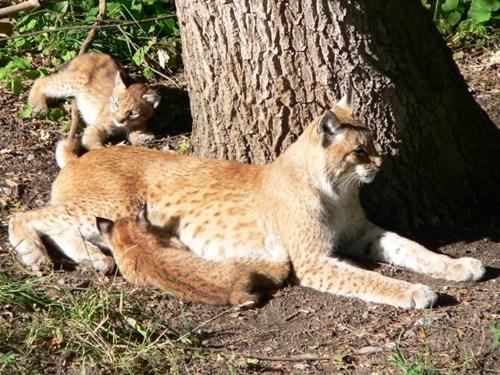 Babies cubs lynx mama
