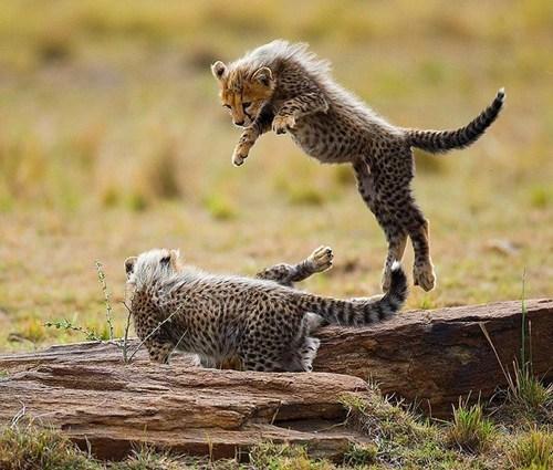 wrestle siblings cute cheetahs - 7984529664