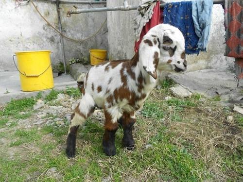cute kids puns goats - 7984667904