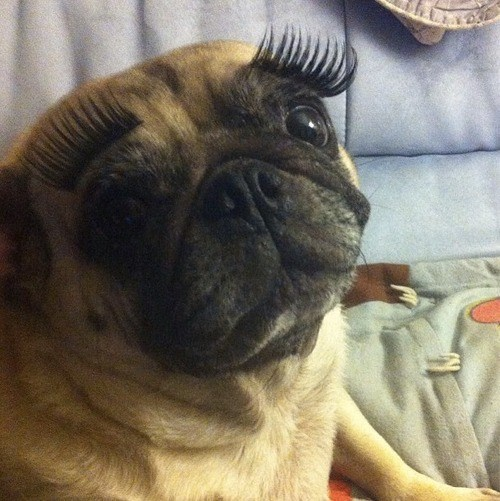 fashion,dogs,pug,eyelashes