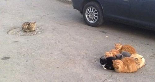 Cats fight funny manhole - 7985075968