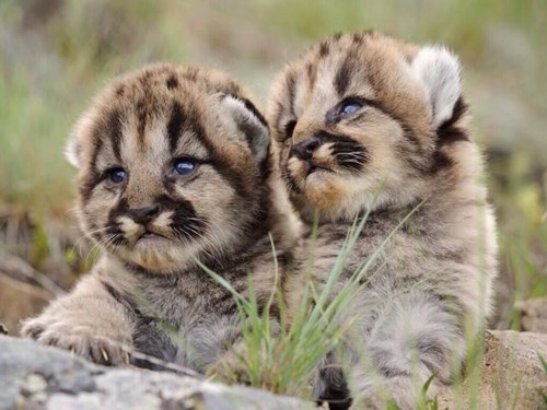 Babies cute cubs twins - 7985081600