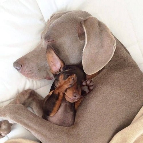 cute bad dream dogs snuggle puppies - 7985086976