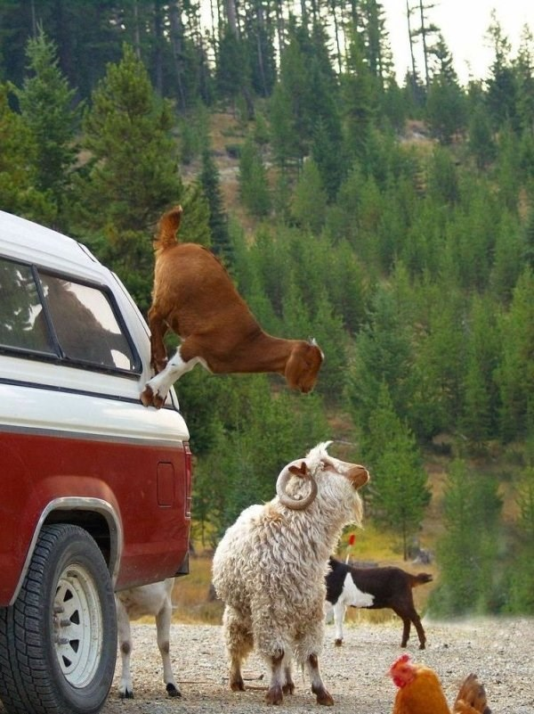parkour animal GIFs Funny GIFs goats funny goats - 7985669