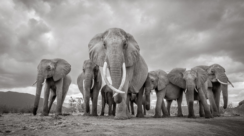 africa photography elephant stunning tusker elephants - 7986949