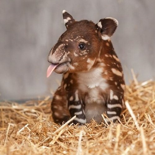 Babies cute tongue tapir - 7989139200