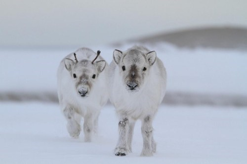 cute,snow,Fluffy,reindeer,winter