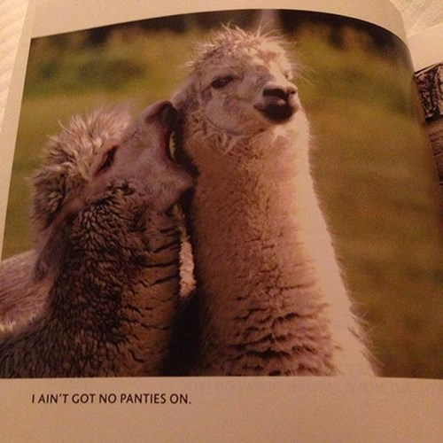 alpaca,animals,llamas,underwear,mating ritual,dating