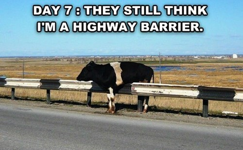 barrier experiment cows they still think