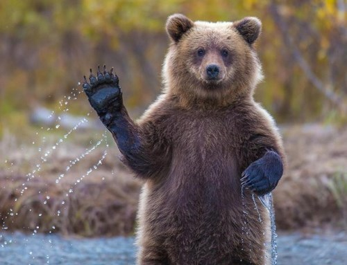 bears,salmon,paws,toss