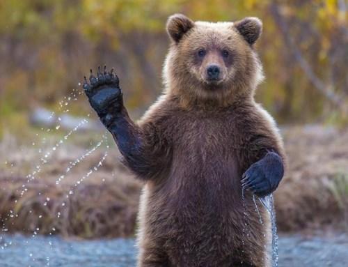 bears salmon paws toss - 7992667136