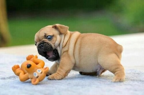 toy puppies fox cute bite - 7994213120