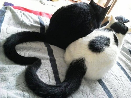 Cats,cute,heart,love,tails