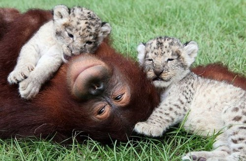 cute play orangutans kitten jungle - 7994282752