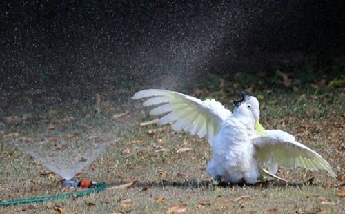 cute,birds,cockatoos,shower,sprinklers