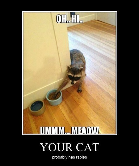 cat raccoon food funny - 7995531776