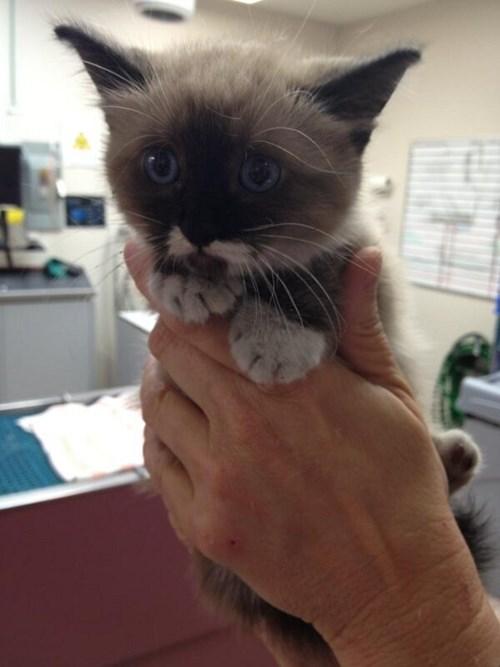 kitten cute vet Cats - 7995715840