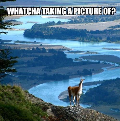 llamas funny beautiful photo bomb