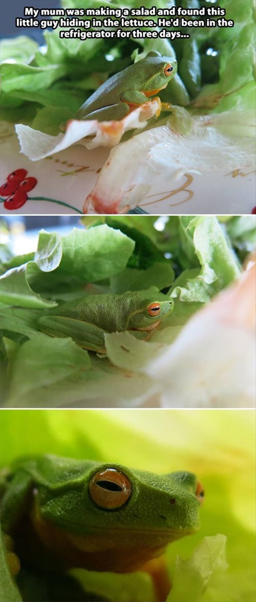 cold funny salad frogs - 7996221952