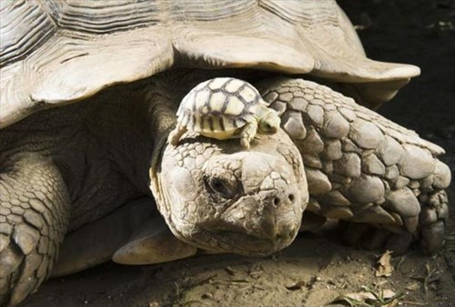 Babies,old,tortoise,cute,future,young