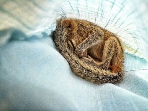 cute squirrels sleep chip munks - 7997813248
