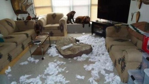 dogs,destroy,cushions,funny