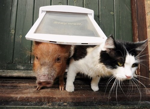 cute hogs pig Cats funny