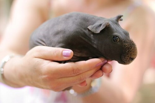 Babies hippos guinea pigs bald cute funny - 7997877760