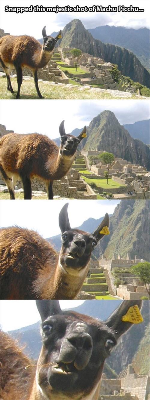 photobomb puns Travel llamas funny - 8001154304