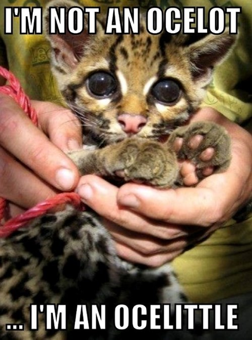 ocelots,kitten,puns,cute,Cats