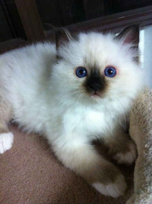 kitten blue eyes cute soot - 8001239552