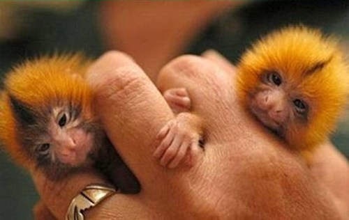Babies cute tiny monkeys little - 8001772544